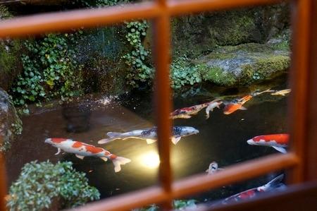 池で泳ぐ錦鯉