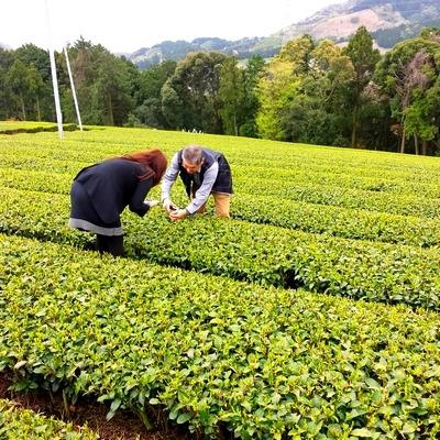 茶畑でお茶の説明を受けている所