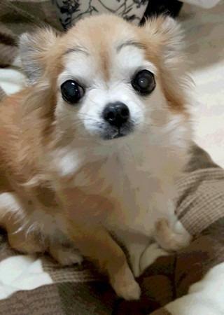 眉毛を書いた犬チワワ