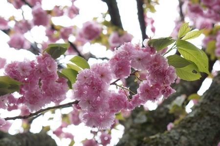 やすらぎの里の八重桜