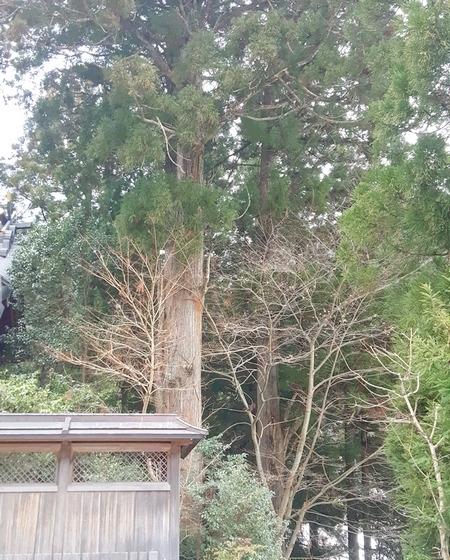天河大弁財天の大木