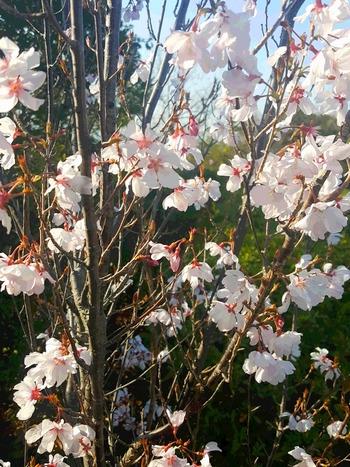 2017年咲き始めた桜