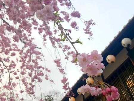 日牟禮ヴィレッジの八重桜