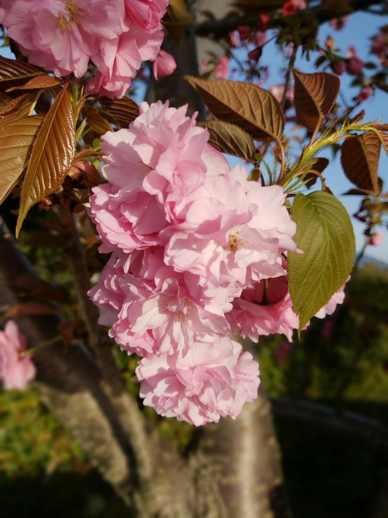 大神神社の八重桜