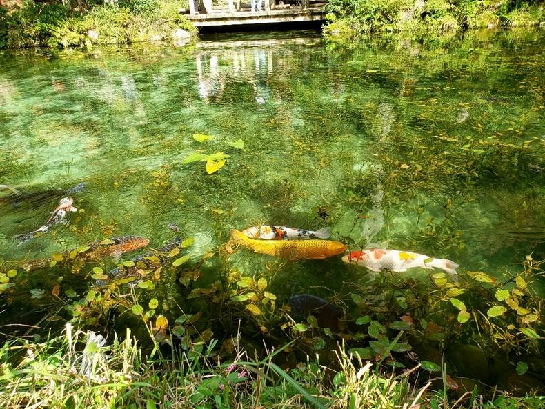 モネの池で泳ぐ鯉